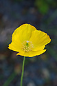 Welsh poppy (Meconopsis cambrica), late April.