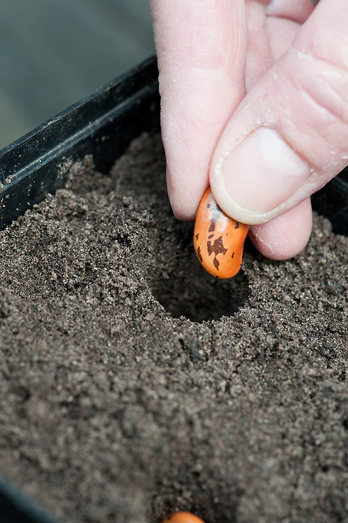 Sowing runner bean seeds in pots.