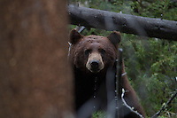 This American black bear (Ursus americanus) is surprised to find company at his watering hole.