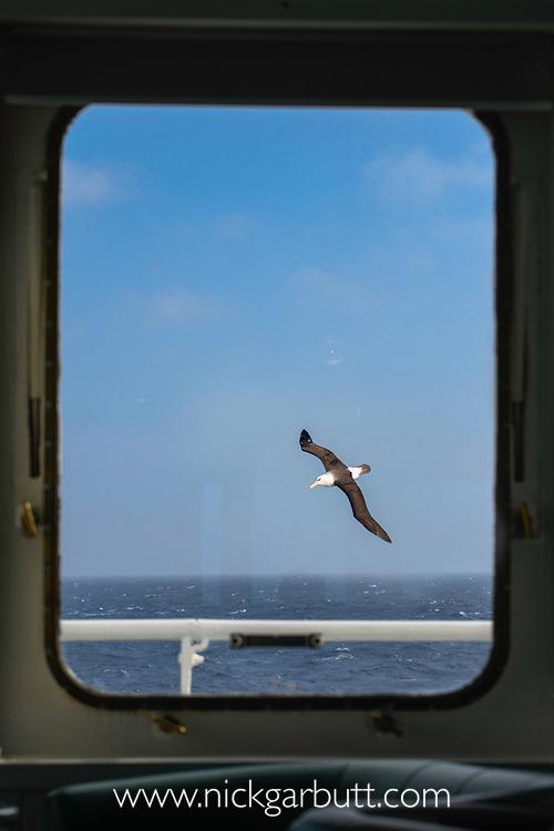 Viewed through a ship's window, a black-browed albatross (Thalassarche melanophris) in flight off South Georgia, South Atlantic Ocean.