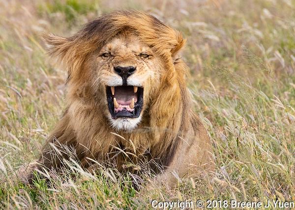 Male Lion Portrait - Serengeti - Tanzania