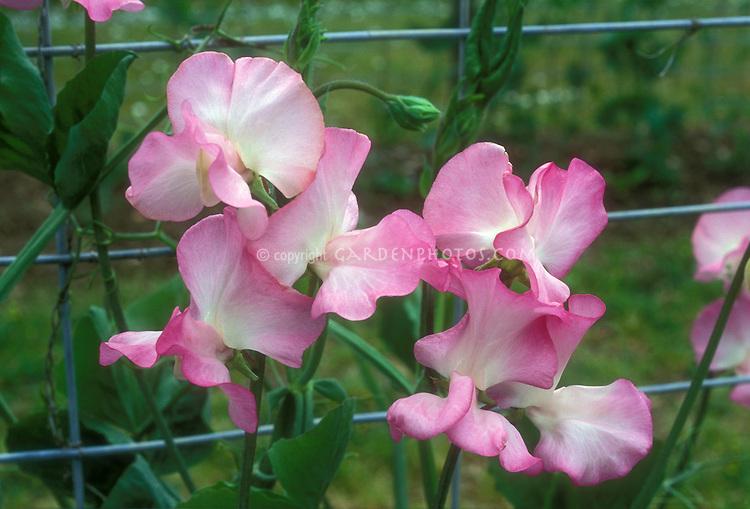 Sweet peas Gwendoline, pink flowers on lattice trellis fence, Lathyrus odoratus Gwendoline