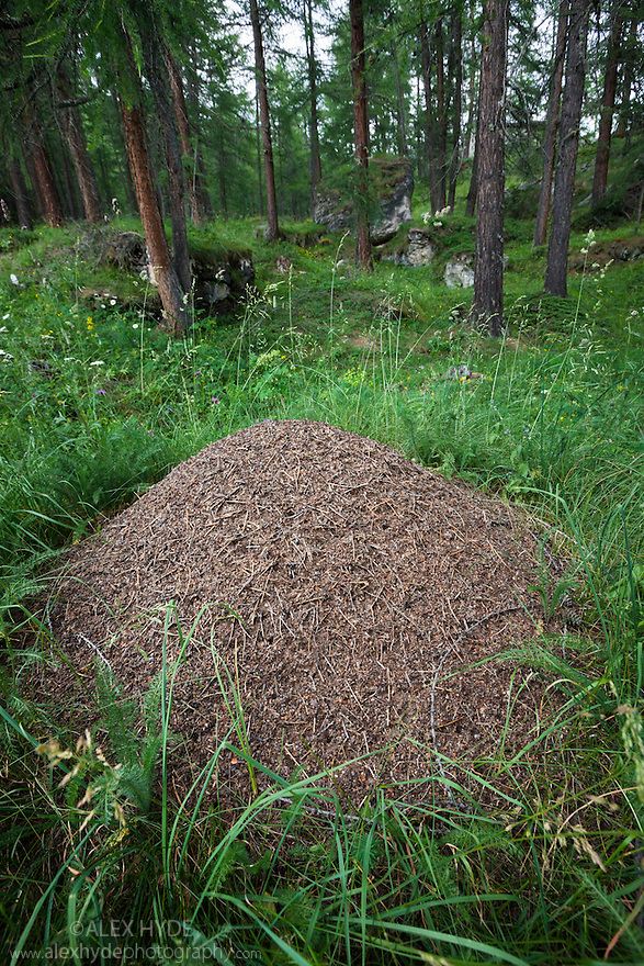 Wood Ant nest {Formica rufa} constructed from pine needles and other debris from the forest floor. Aosta Valley, Monte Rosa Massif, Pennine Alps, Italy. July.