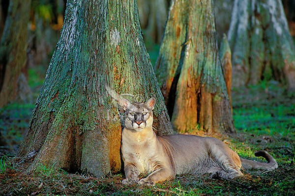 Florida panther (Puma concolor coryi), endangered species, Florida.