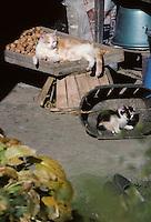 Europe/France/Midi-Pyrénées/46/Lot/Vallée du Lot/Larroque-Toirac: Séchage des noix et chats