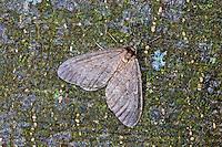 Kleiner Frostspanner, Männchen, Operophtera brumata, winter moth, male, La Phalène brumeuse, Arpenteuse tardive, Spanner, Geometridae, looper, loopers, geometer moths, geometer moth