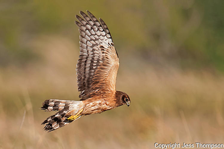 Northern Harrier, Estero Llano Grande State Park