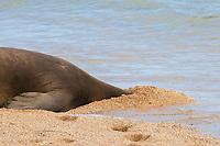 Hawaiian monk seals, Neomonachus schauinslandi, Critically Endangered endemic species, female resting with head buried in sand, Larsen's Beach, Moloa'a, Kauai, USA, Pacific Ocean