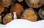 An ermine peeks out behind a snow mound at a woodpile in Wyoming.