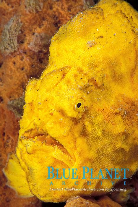 longlure frogfish or anglerfish, Antennarius multiocellatus, camouflaged among sponges, Commonwealth of Dominica (Caribbean Sea) , Atlantic