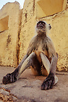 Adult Hanuman or Common Langur (Semnopithecus entellus) on the ramparts of the Amber Fort, Jaipur, India.