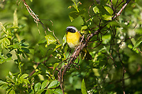 Common Yellowthroat (Geothlypis trichas trichas), male on its breeding territory in Assunpink Wildlife Management Area, Allentown, New Jersey.