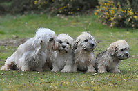BNPS.co.uk (01202 558833)<br /> Pic: ZacharyCulpin/BNPS<br /> <br /> Rare Dandie Dinmont Terrier pictured with proud mother Polly. <br /> <br /> Pictured:  A new litter of Dandie Dinmont Terriers, only 87 puppies were born last year. <br /> <br /> Has this breed of dog had its day?<br /> <br /> There are fears the otterhound, Britain's rarest breed of dog, is on the verge of extinction after just seven puppies were born last year.<br /> <br /> While the coronavirus lockdowns sparked record sales of puppies like Labradors and French Bulldogs, the same can not be said for some traditional British species.<br /> <br /> Chief among them is the otterhound, one of Britain's oldest breeds that dates back to the 12th century.
