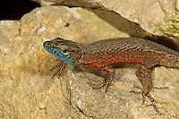 Pracht-Kieleidechse, Prachtkieleidechse, Algyroides nigropunctatus, Blue-throated keeled lizard, Dalmatian Algyroides