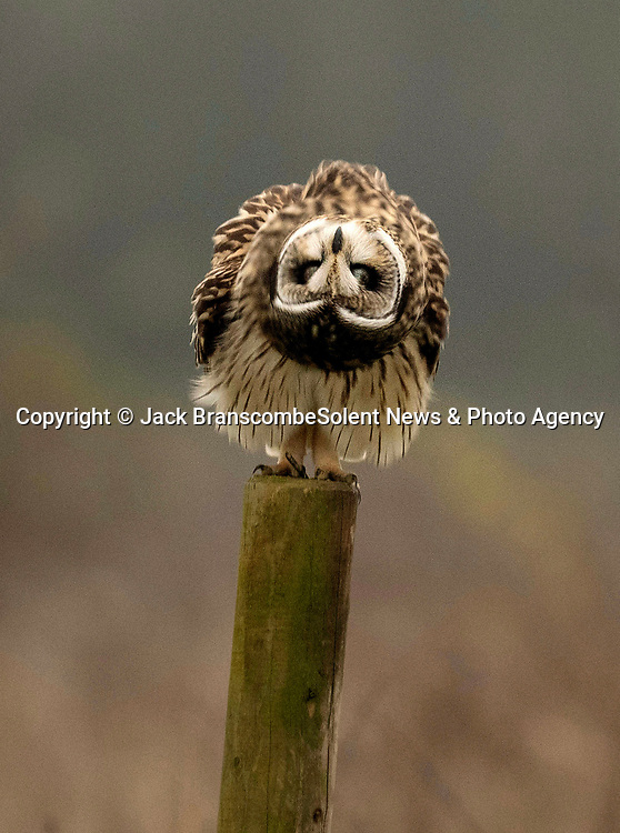 """Pictured:  The owl fluffing itself up.<br /> <br /> An owl seems to channel the spirit of Marilyn Monroe as it fluffs up its feathers and looks like its wearing a dress.  The short-eared owl was snapped by a keen amateur photographer as it ruffled its feathers.<br /> <br /> Jack Branscombe, 27, said he had been 'desperate' to photograph this species of owl for months and finally got his wish on a gloomy day at an unnamed spot in Essex.  He said: """"I was over the moon to see my first short-eared owl and to get to photograph such a relaxed one was amazing.  SEE OUR COPY FOR DETAILS.<br /> <br /> Please byline: Jack Branscombe/Solent News<br /> <br /> © Jack Branscombe/Solent News & Photo Agency<br /> UK +44 (0) 2380 458800"""