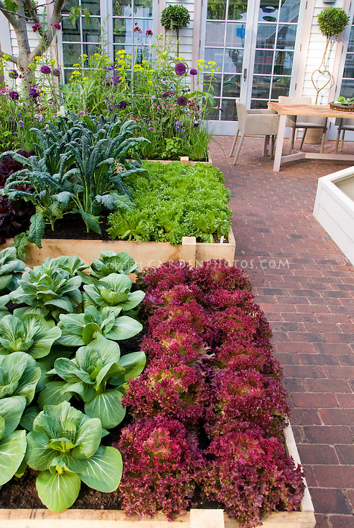 Suburban / urban backyard raised beds vegetable garden on brick patio, with upscale house and French doors visible, patio chair, rows of red lettuces New Red Fire, green lettuce, kale, pak choi, salad greens, flowers, square foot type gardening aka Cavalo Nero kale