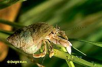 1Y43-021a  Dwarf Hermit Crab - Pagurus longicarpus.