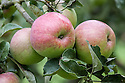 Apple 'Galton', mid September. A Canadian dessert apple first introduced in 1915.