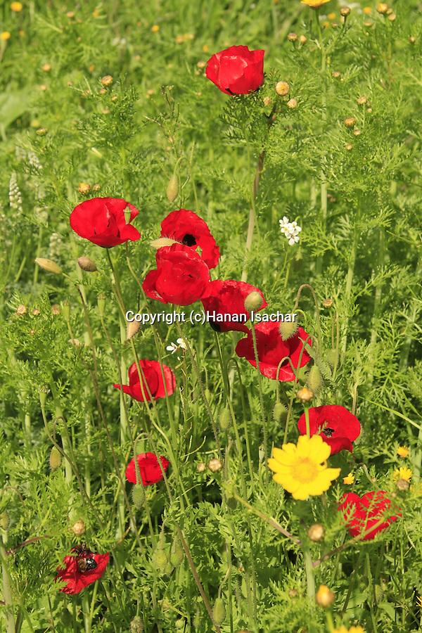 Israel, Upper Galilee, wildflowers in Einot Gaaton