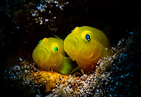 yellow goby, Lubricogobius exiguus, a mating pair, at the entrance of their burrowed nest,  Anilao, Philippines, Pacific Ocean