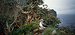 Bullers Mollymawk on Solander Island in Fiordland National Park. New Zealand.