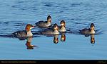Mergansers, Silver Salmon Creek, Lake Clark National Park, Alaska