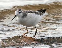 Wilson's phalarope in winter plumage