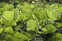 Grove of lotus about to bloom