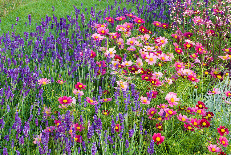 Lavandula angustifolia 'Hidcote' (English Lavender), Cosmos bipinnatus 'Antiquity' annual & perennial flowers for sunny garden border, with Heuchera in bloom. (RHS Hampton Court Palace Flower Show 2011, LOROS Hospice Garden of Light and Remembrance)