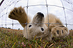 Polar Bear Cubs (7-8 months) (Ursus maritimus) investigating photographer through wire fence. Lodge on the shores of Hudson Bay, Canada (Sept).
