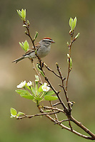 Chipping Sparrow and Pear Tree blossoms, early Spring.