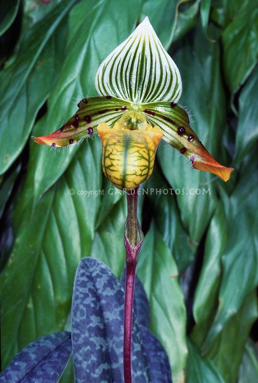 Paphiopedilum venustum (Tropical Slipper Orchid species)Yerba Buena x Saint Ouens Bay, 1992. Grand champion LA show 11.98