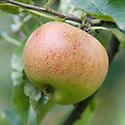 Apple 'Mabbot's Pearmain', mid September. A 19th century English dessert apple, originally from around Maidstone, Kent.