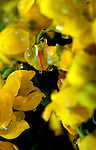 Spring blossom of Oregon Grape taken in closeup during heavy rain.