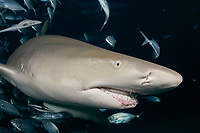Lemon shark (Negaprion brevirostris) in the Bahamas, black background, night