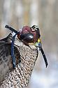 00432-030.08 Falconry: Close up of goshawk wearing hood to keep the bird calm.