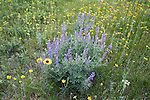 Wildflower variety in a Montana meadow includes, a Blanketflower, Lupine, Arnica and Pearly Everlasting