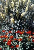 Cortaderia selloana Pampas grass ornamental grass in flowery plumes in bloom with red zinnias