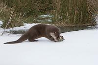 Europäischer Fischotter, frisst erbeuteten Fisch, Barsch, Flussbarsch, Beute, Fisch-Otter, Otter, Weibchen im Winter bei Schnee und Eis, Lutra lutra, river otter, European otter, female