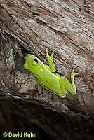 0605-0904  American Green Treefrog Climbing Tree at Outer Banks North Carolina, Hyla cinerea  © David Kuhn/Dwight Kuhn Photography