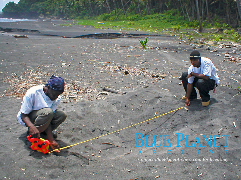 volunteers measure a green sea turtle nest, Chelonia mydas, Dominica, Caribbean, Atlantic