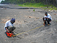 volunteers measure a green sea turtle nest, Chelonia mydas, Dominica, Caribbean, Atlantic