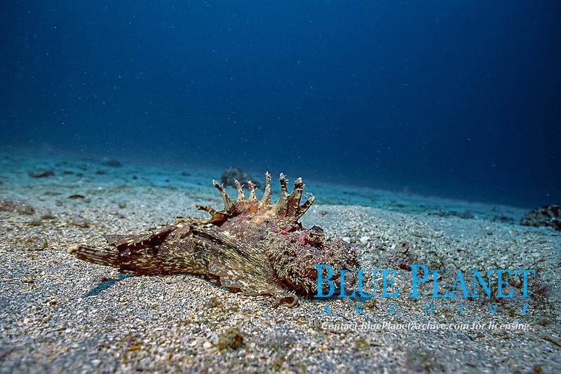 Devil stinger, Inimicus japonicus, Futo, Sagami bay, Izu peninsula, Shizuoka, Japan, Pacific Ocean