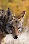 Coyote, Henry W. Coe State Park, California, USA