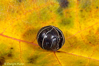1Y33-025a  Pill Bug - curled into ball