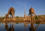 Giraffe stoops to drink from waterpool by Alec Connah