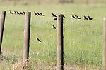 Damon, Texas; a flock of tree swallows perched on a metal square pattern fence in early morning sunlight