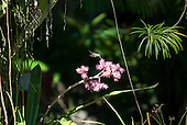 Itaparica Island, Bahia State, Brazil. Pousada Arco Iris; humming bird taking nectar from a pink flowering Bromeliad.