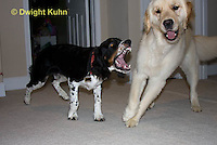 0801-0820  Golden Retriever and Tri-color English Springer Spaniel Play Fighting, Canis lupus familiaris © David Kuhn/Dwight Kuhn Photography