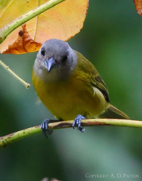 Male gray-headed tanager